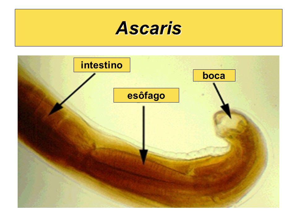 Ascaris intestino boca esôfago
