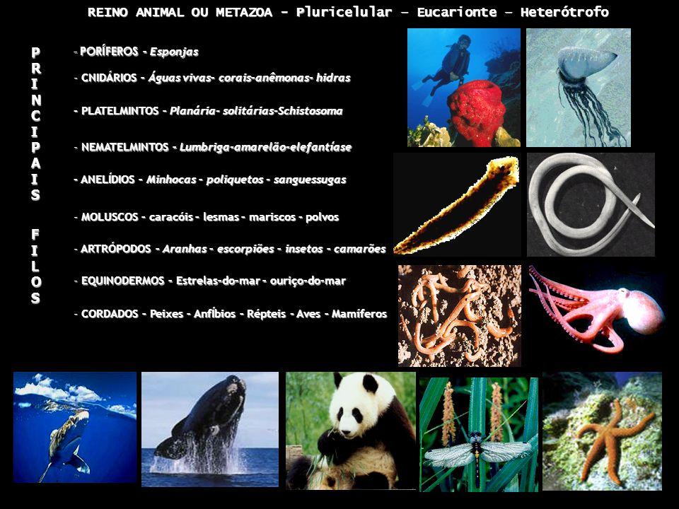 REINO ANIMAL OU METAZOA - Pluricelular – Eucarionte – Heterótrofo