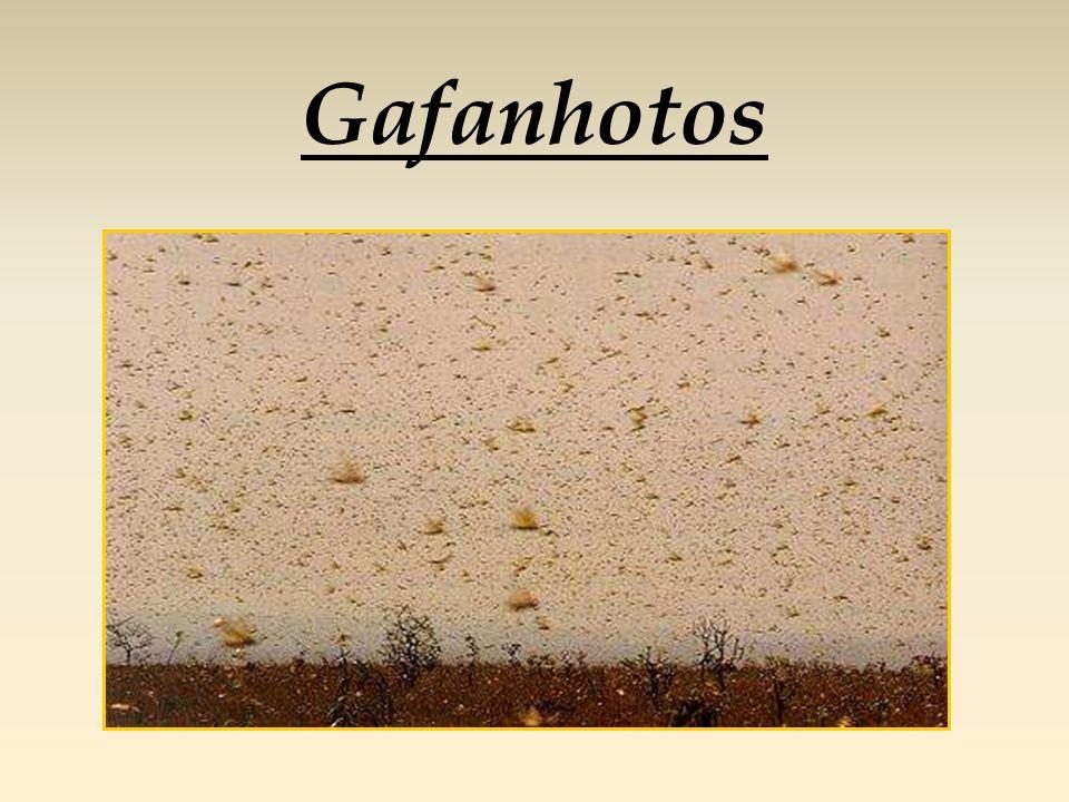 Gafanhotos