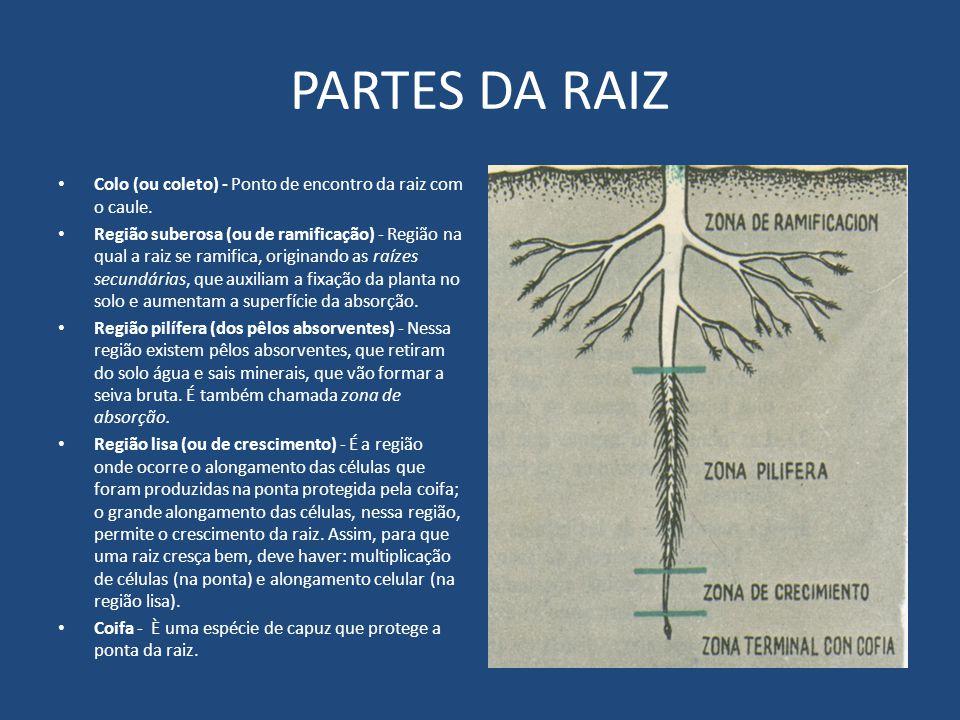 PARTES DA RAIZ Colo (ou coleto) - Ponto de encontro da raiz com o caule.