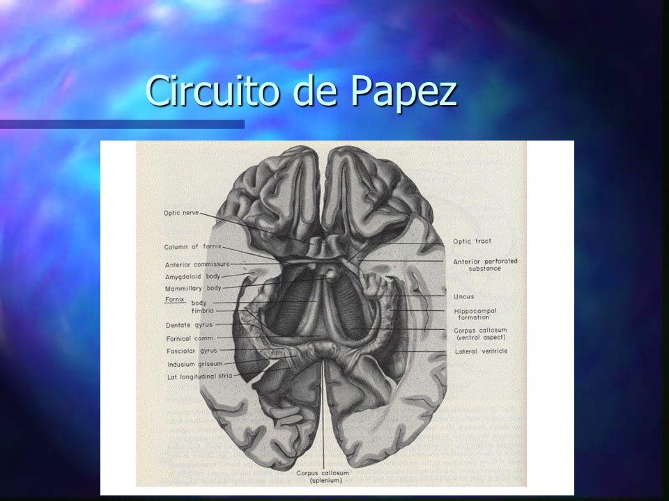 Circuito De Papez : Bases anatômicas e funcionais da memória ppt carregar