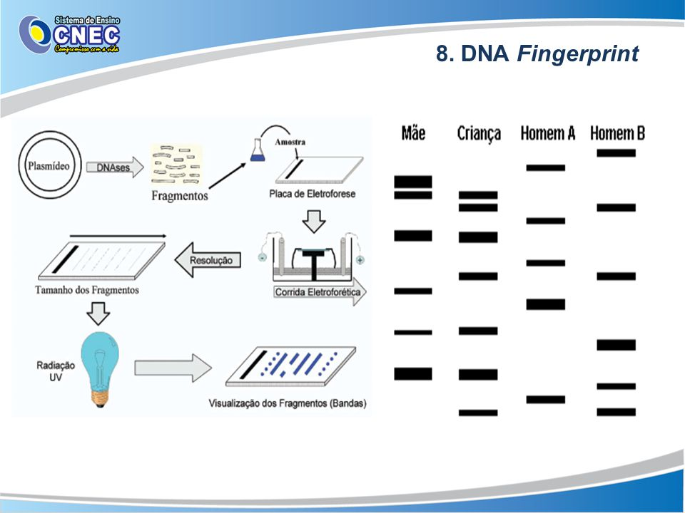 8. DNA Fingerprint