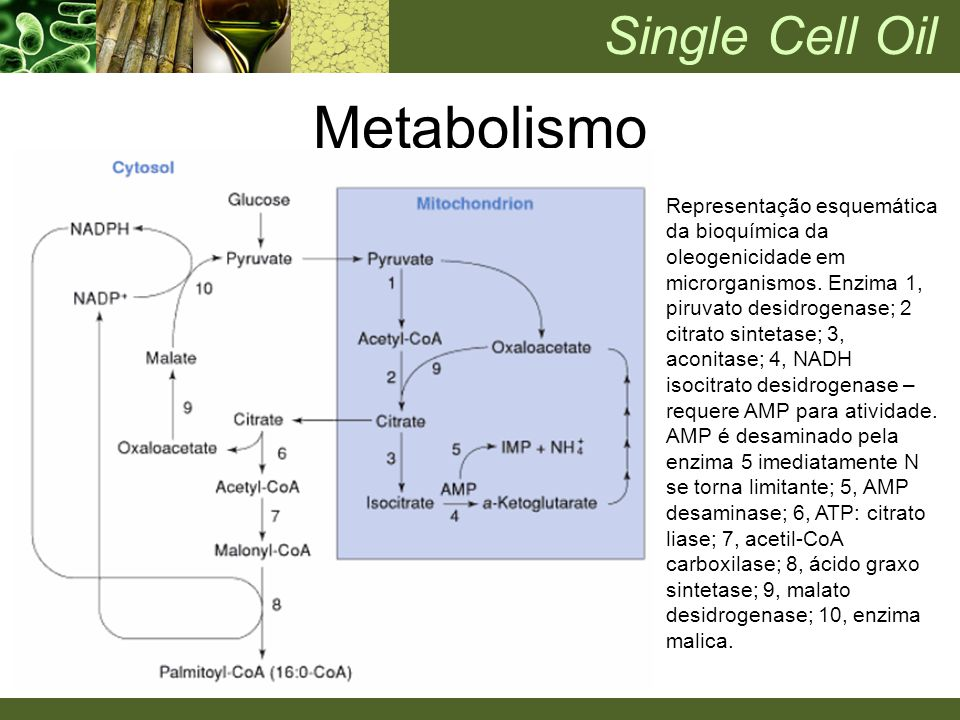 Metabolismo Single Cell Oil