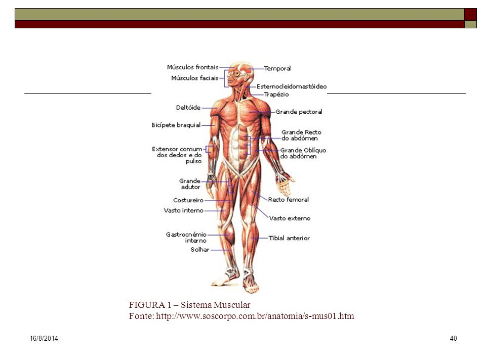 FIGURA 1 – Sistema Muscular Fonte: http://www. soscorpo. com
