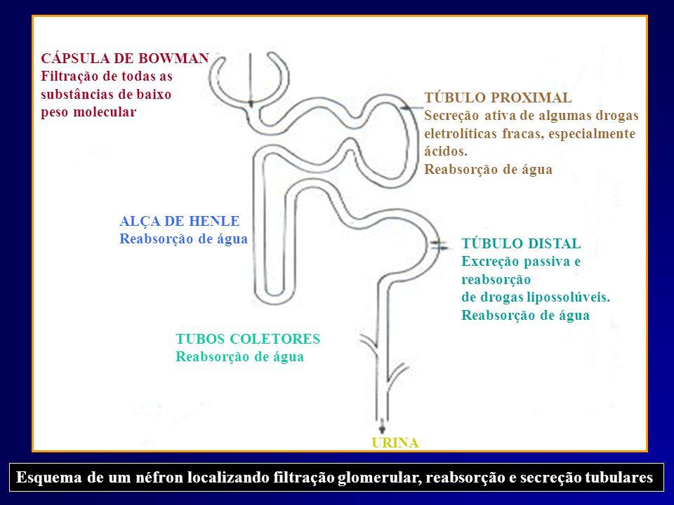 CÁPSULA DE BOWMAN Filtração de todas as. substâncias de baixo. peso molecular. TÚBULO PROXIMAL. Secreção ativa de algumas drogas.