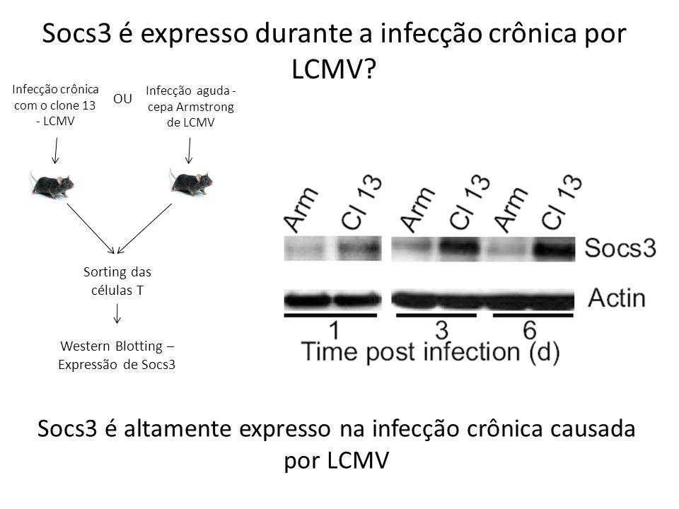Socs3 é expresso durante a infecção crônica por LCMV