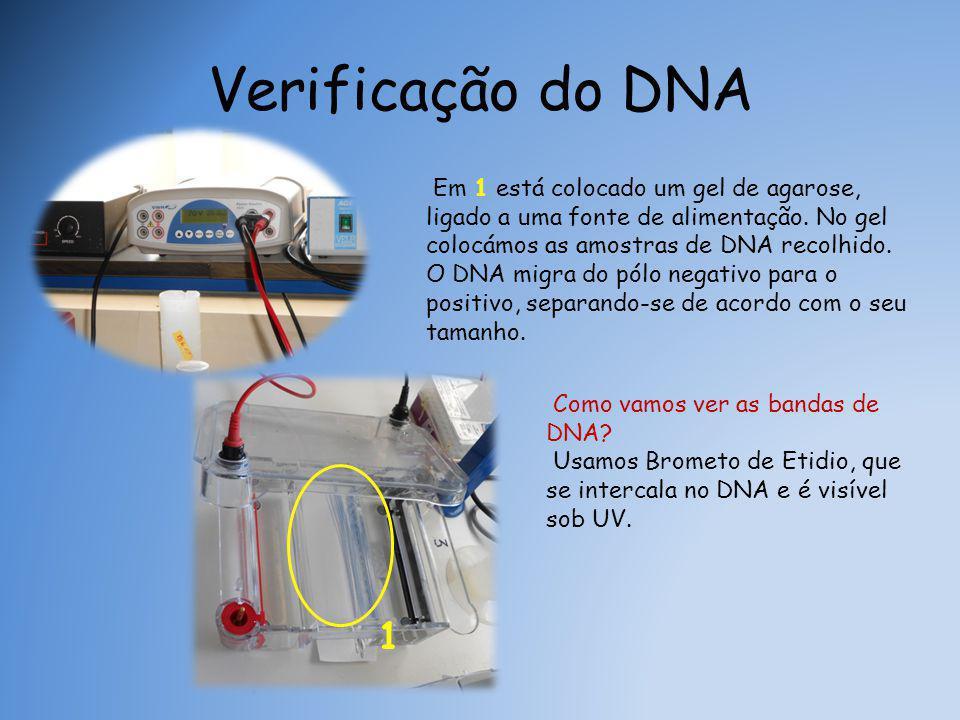 Verificação do DNA Em 1 está colocado um gel de agarose, ligado a uma fonte de alimentação. No gel colocámos as amostras de DNA recolhido.