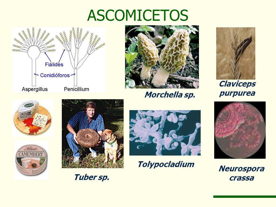 ASCOMICETOS Claviceps purpurea Morchella sp. Tolypocladium