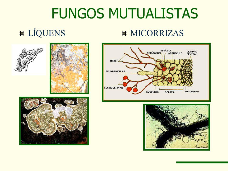 FUNGOS MUTUALISTAS LÍQUENS MICORRIZAS