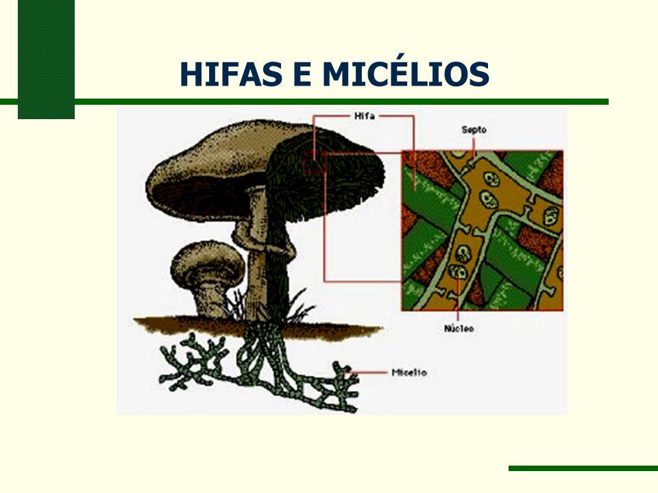 HIFAS E MICÉLIOS