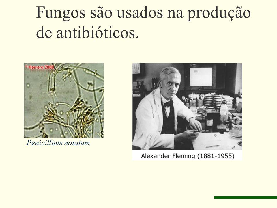 Fungos são usados na produção de antibióticos.