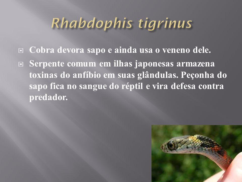 Rhabdophis tigrinus Cobra devora sapo e ainda usa o veneno dele.