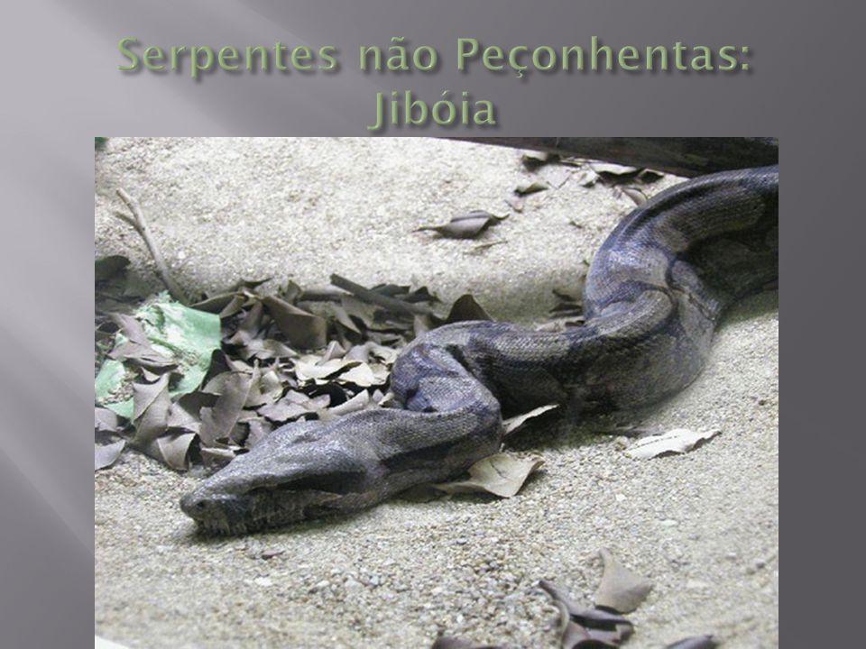 Serpentes não Peçonhentas: Jibóia