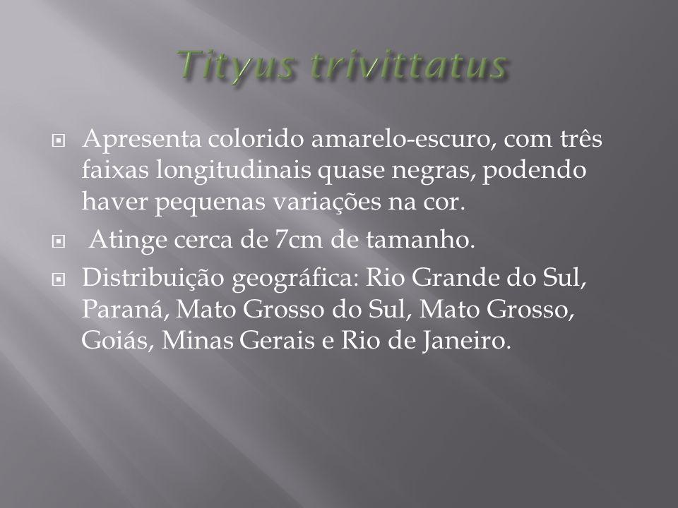 Tityus trivittatus Apresenta colorido amarelo-escuro, com três faixas longitudinais quase negras, podendo haver pequenas variações na cor.