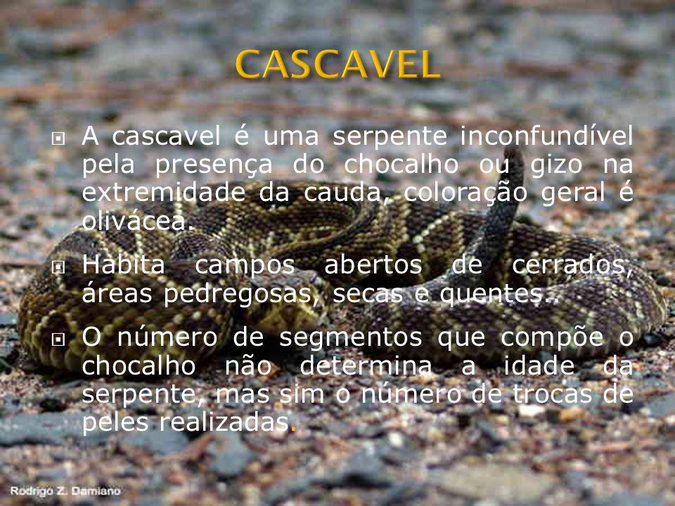 CASCAVEL A cascavel é uma serpente inconfundível pela presença do chocalho ou gizo na extremidade da cauda, coloração geral é olivácea.