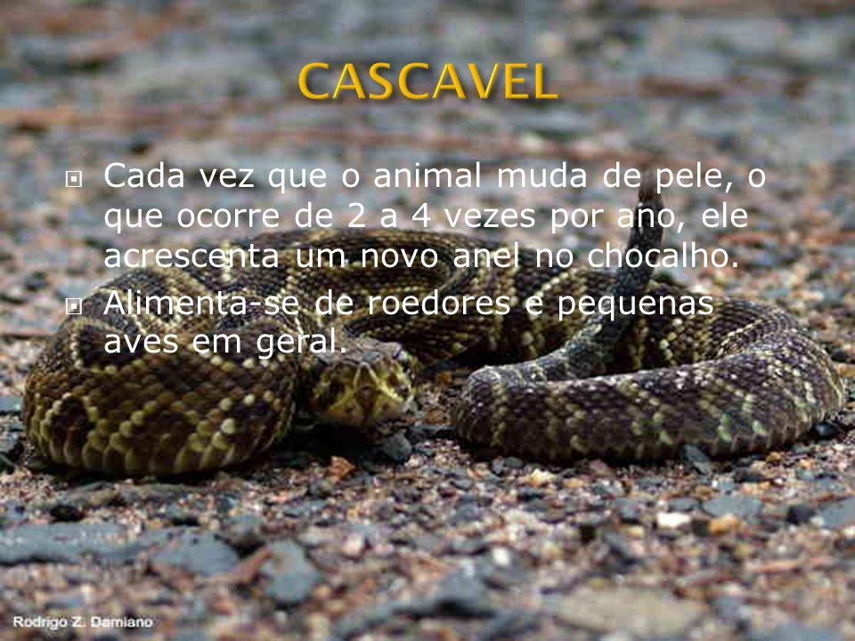 CASCAVEL Cada vez que o animal muda de pele, o que ocorre de 2 a 4 vezes por ano, ele acrescenta um novo anel no chocalho.