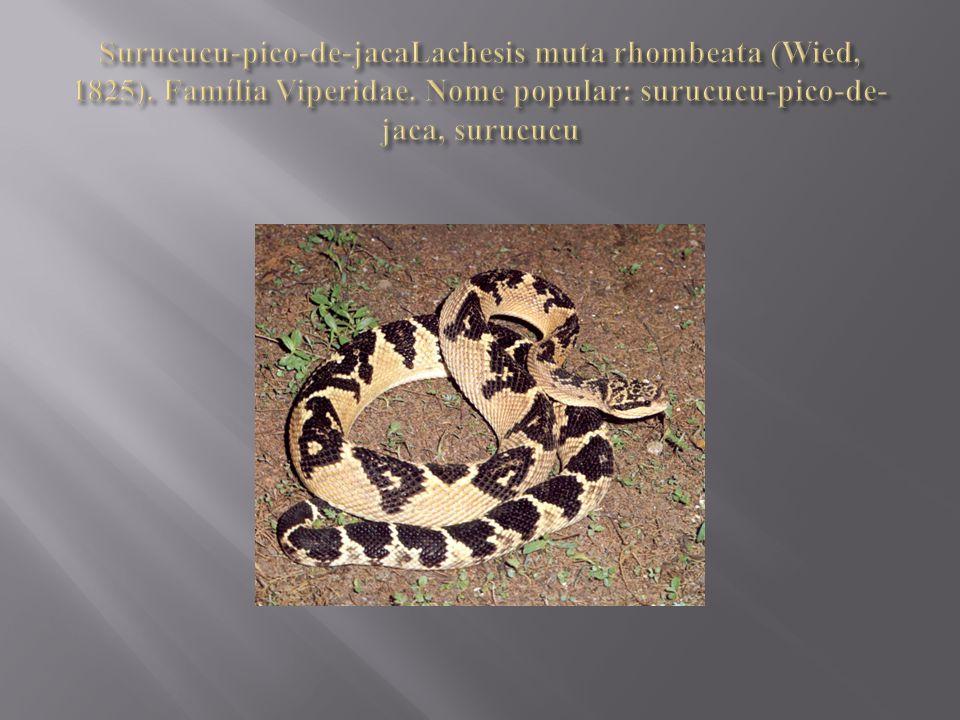 Surucucu-pico-de-jacaLachesis muta rhombeata (Wied, 1825)