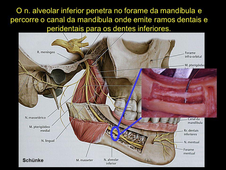 O n. alveolar inferior penetra no forame da mandíbula e percorre o canal da mandíbula onde emite ramos dentais e peridentais para os dentes inferiores.