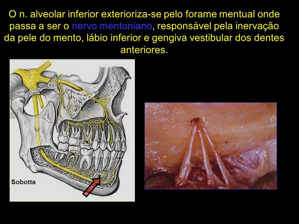 O n. alveolar inferior exterioriza-se pelo forame mentual onde passa a ser o nervo mentoniano, responsável pela inervação da pele do mento, lábio inferior e gengiva vestibular dos dentes anteriores.