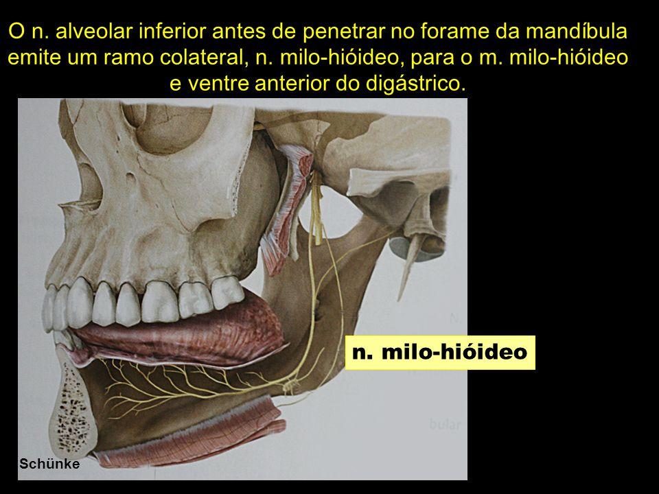 O n. alveolar inferior antes de penetrar no forame da mandíbula emite um ramo colateral, n. milo-hióideo, para o m. milo-hióideo e ventre anterior do digástrico.