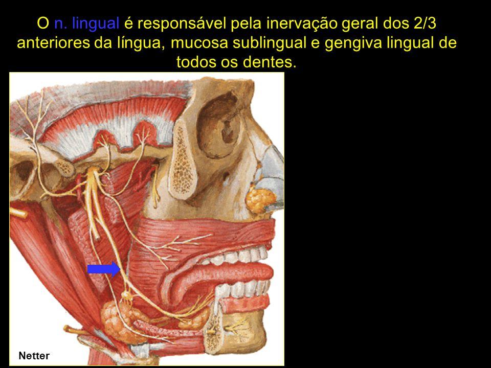 O n. lingual é responsável pela inervação geral dos 2/3 anteriores da língua, mucosa sublingual e gengiva lingual de todos os dentes.
