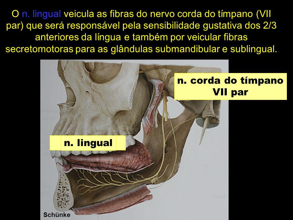 O n. lingual veicula as fibras do nervo corda do tímpano (VII par) que será responsável pela sensibilidade gustativa dos 2/3 anteriores da língua e também por veicular fibras secretomotoras para as glândulas submandibular e sublingual.