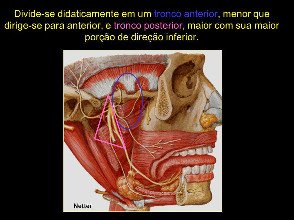 Divide-se didaticamente em um tronco anterior, menor que dirige-se para anterior, e tronco posterior, maior com sua maior porção de direção inferior.