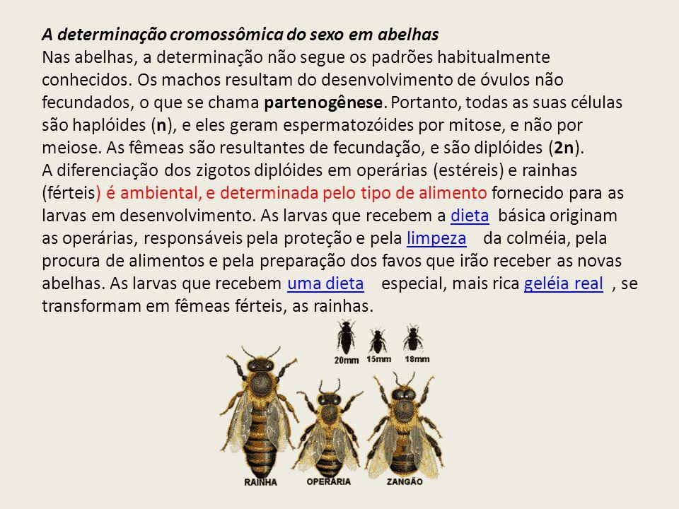 A determinação cromossômica do sexo em abelhas
