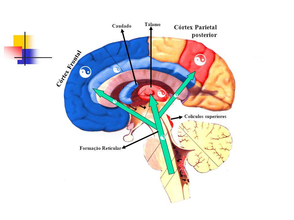 Gonzales e cols. Mesulam Córtex Parietal posterior Córtex Frontal