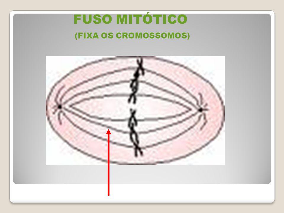 FUSO MITÓTICO (FIXA OS CROMOSSOMOS)