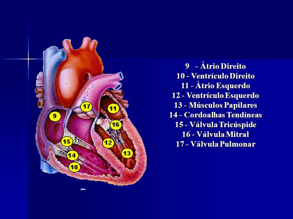 9 - Átrio Direito 10 - Ventrículo Direito 11 - Átrio Esquerdo 12 - Ventrículo Esquerdo 13 - Músculos Papilares 14 - Cordoalhas Tendíneas 15 - Válvula Tricúspide 16 - Válvula Mitral 17 - Válvula Pulmonar