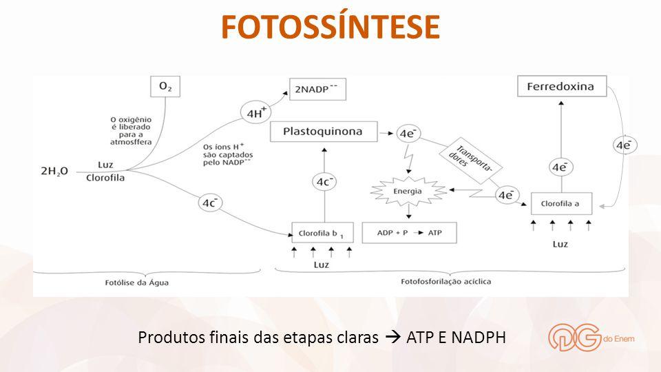 FOTOSSÍNTESE Produtos finais das etapas claras  ATP E NADPH