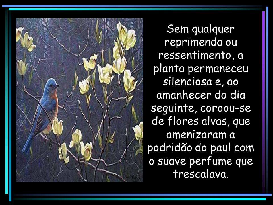 Sem qualquer reprimenda ou ressentimento, a planta permaneceu silenciosa e, ao amanhecer do dia seguinte, coroou-se de flores alvas, que amenizaram a podridão do paul com o suave perfume que trescalava.