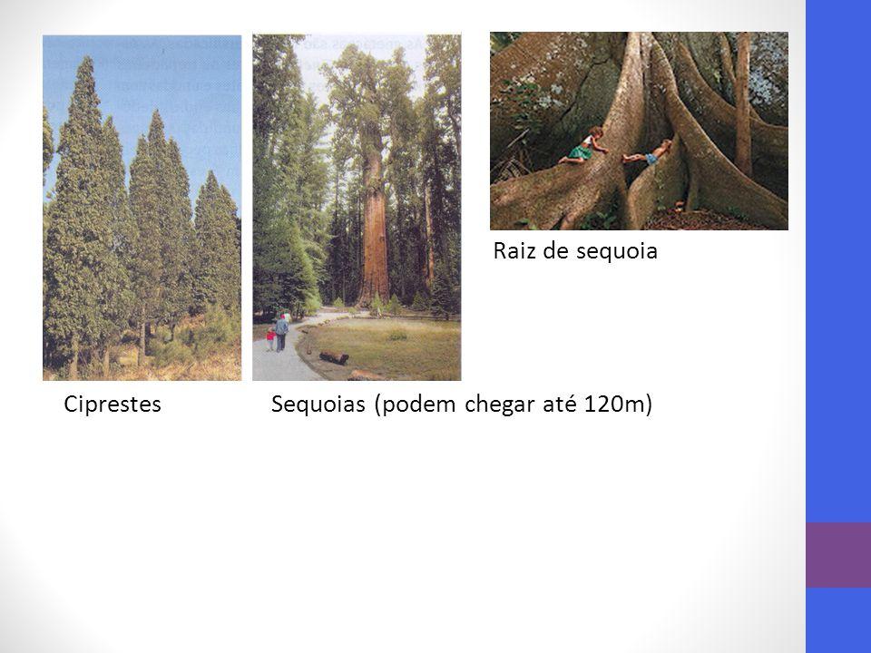 Raiz de sequoia Ciprestes Sequoias (podem chegar até 120m)