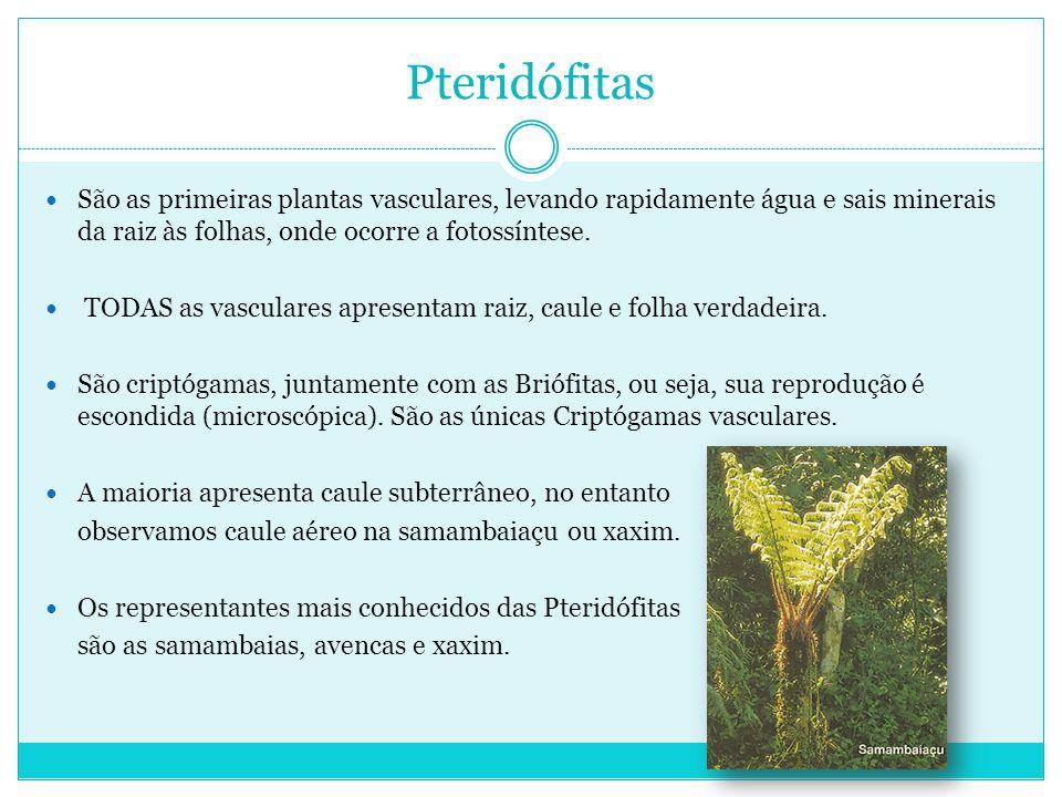Pteridófitas São as primeiras plantas vasculares, levando rapidamente água e sais minerais da raiz às folhas, onde ocorre a fotossíntese.