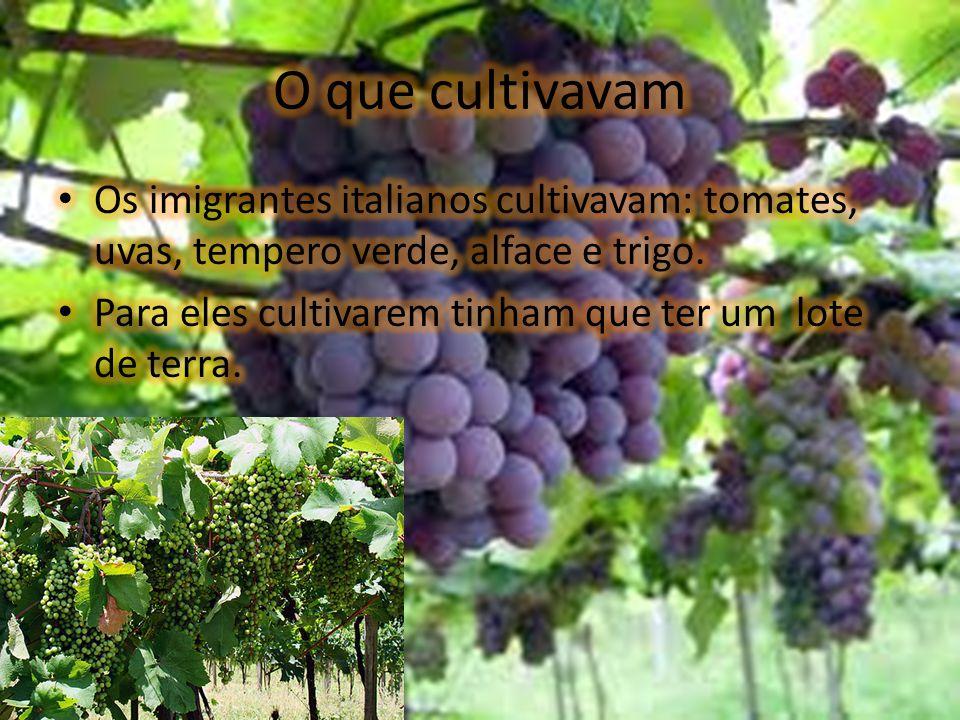 O que cultivavam Os imigrantes italianos cultivavam: tomates, uvas, tempero verde, alface e trigo.