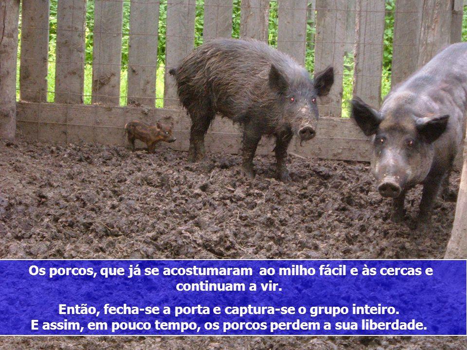 Os porcos, que já se acostumaram ao milho fácil e às cercas e continuam a vir.