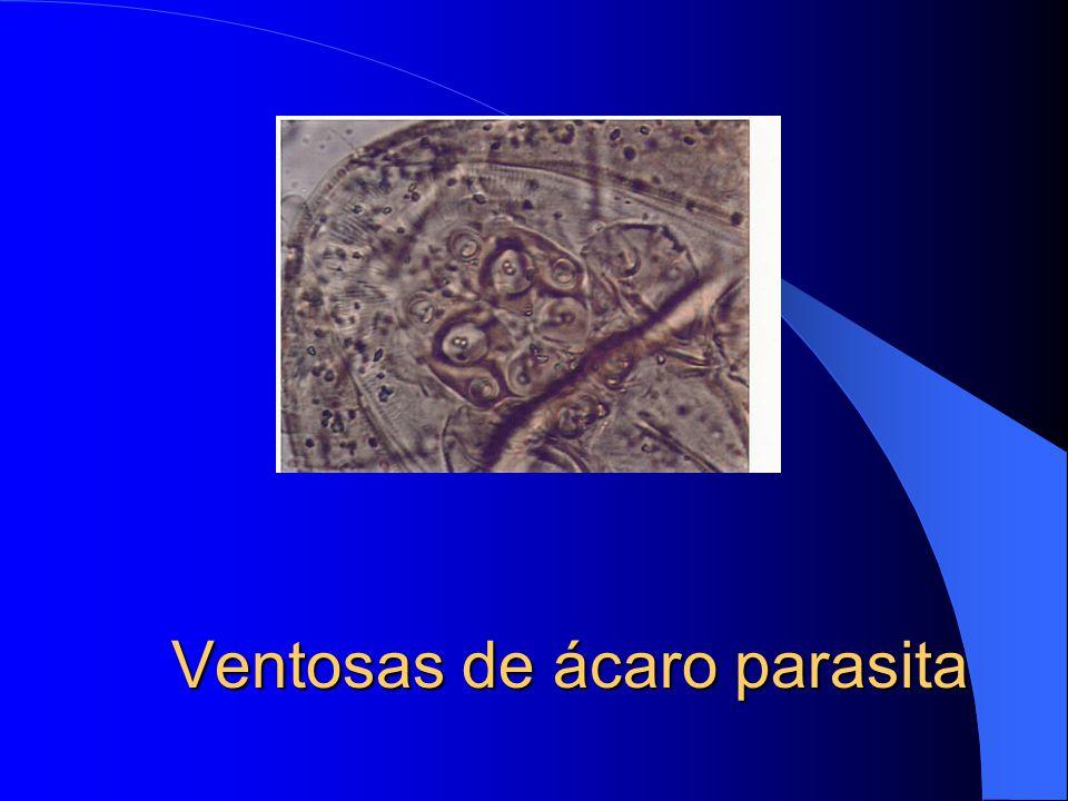 Ventosas de ácaro parasita