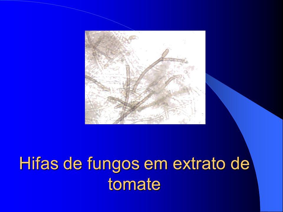 Hifas de fungos em extrato de tomate