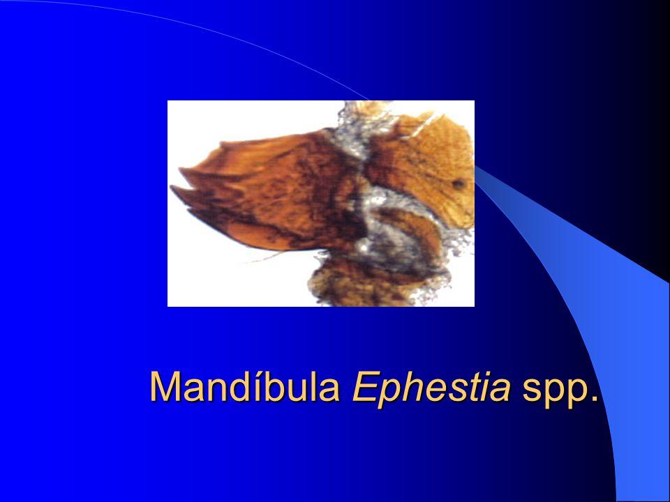 Mandíbula Ephestia spp.