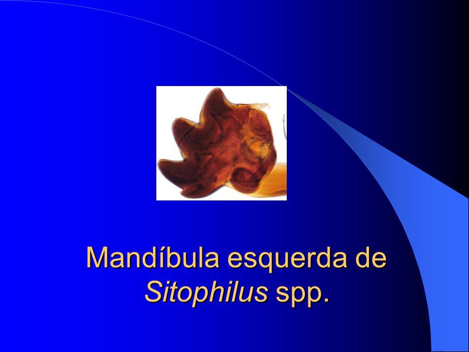 Mandíbula esquerda de Sitophilus spp.
