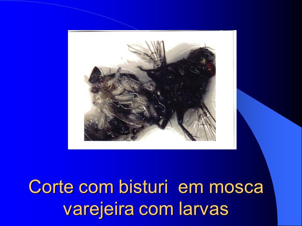 Corte com bisturi em mosca varejeira com larvas