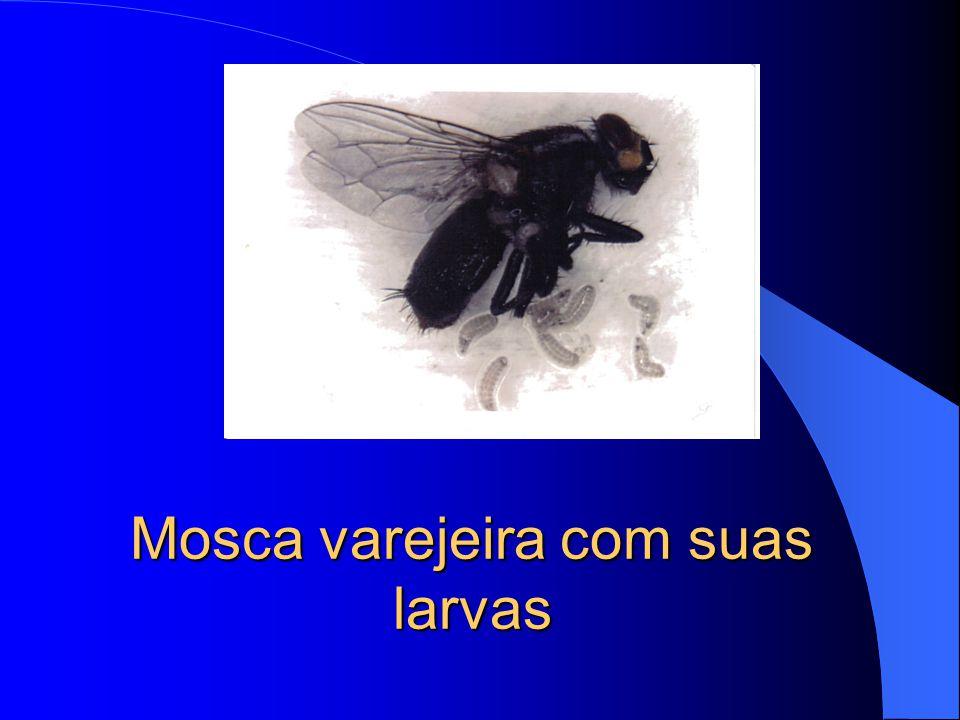 Mosca varejeira com suas larvas