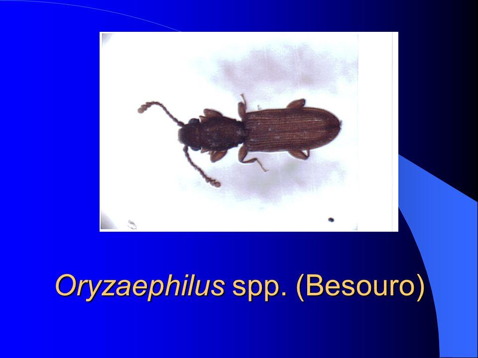 Oryzaephilus spp. (Besouro)