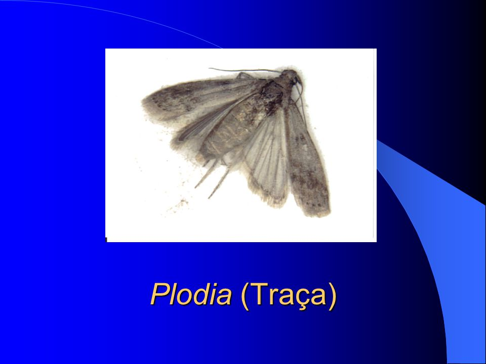 Plodia (Traça)