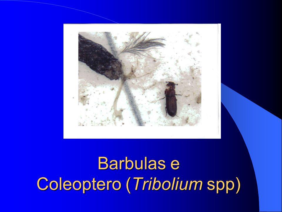 Barbulas e Coleoptero (Tribolium spp)