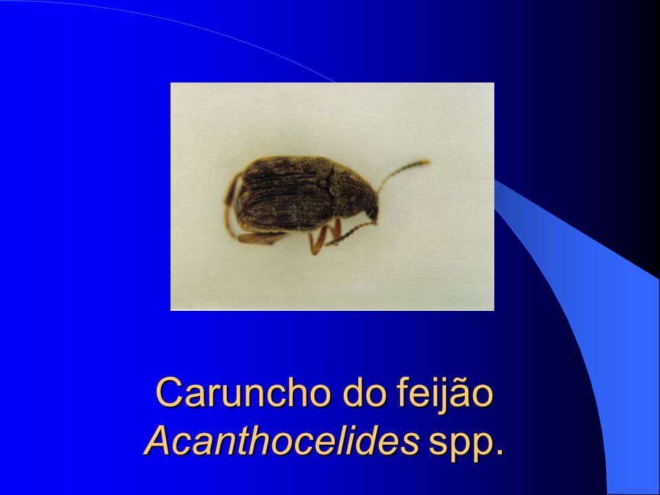 Caruncho do feijão Acanthocelides spp.