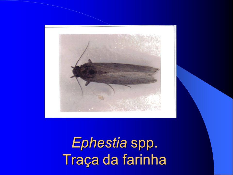 Ephestia spp. Traça da farinha