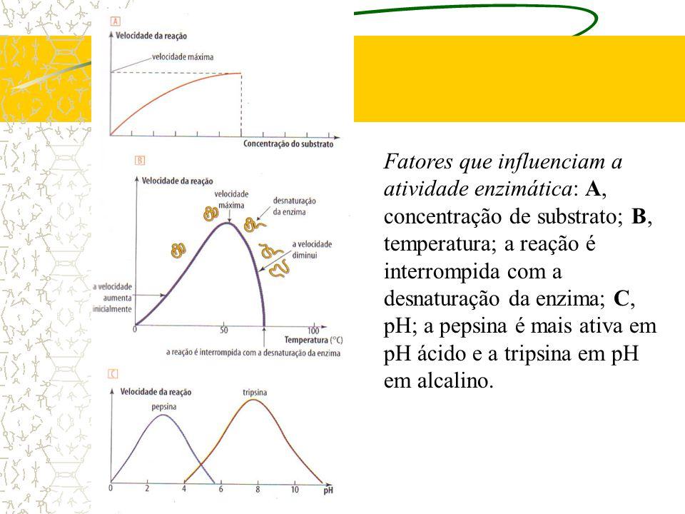 Fatores que influenciam a atividade enzimática: A, concentração de substrato; B, temperatura; a reação é interrompida com a desnaturação da enzima; C, pH; a pepsina é mais ativa em pH ácido e a tripsina em pH em alcalino.