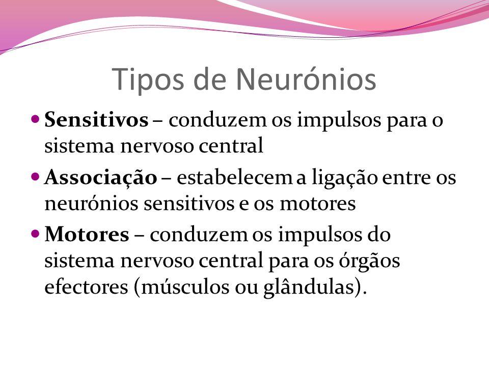 Tipos de Neurónios Sensitivos – conduzem os impulsos para o sistema nervoso central.